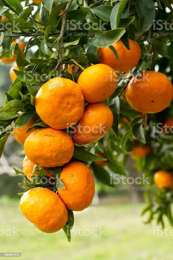 Organic Tangerine Fruits stock photo