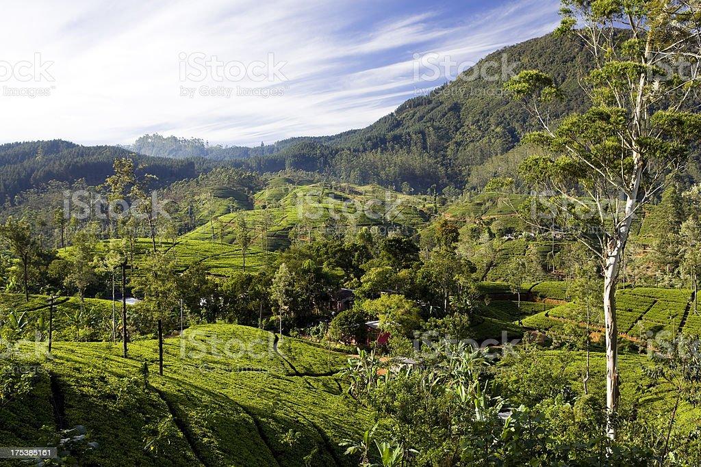 organic tea crop plantation sri lanka royalty-free stock photo