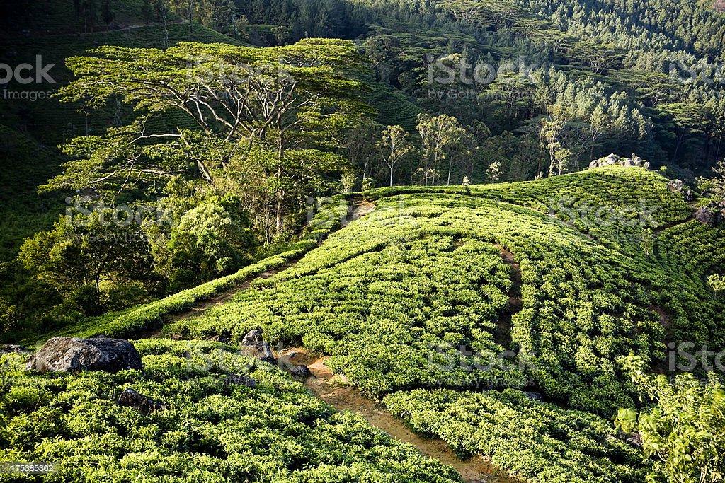 organic tea crop plantation sri lanka stock photo