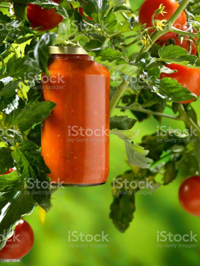 Organic Tomato Sauce On the Vine royalty-free stock photo