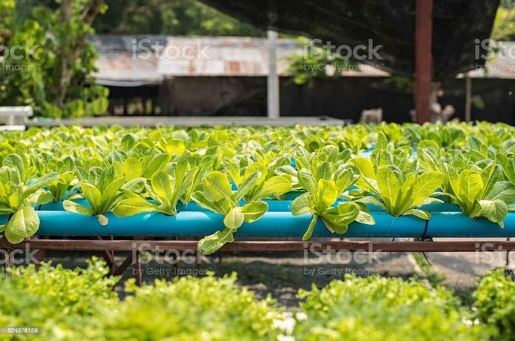 organic vegetable farm. stock photo