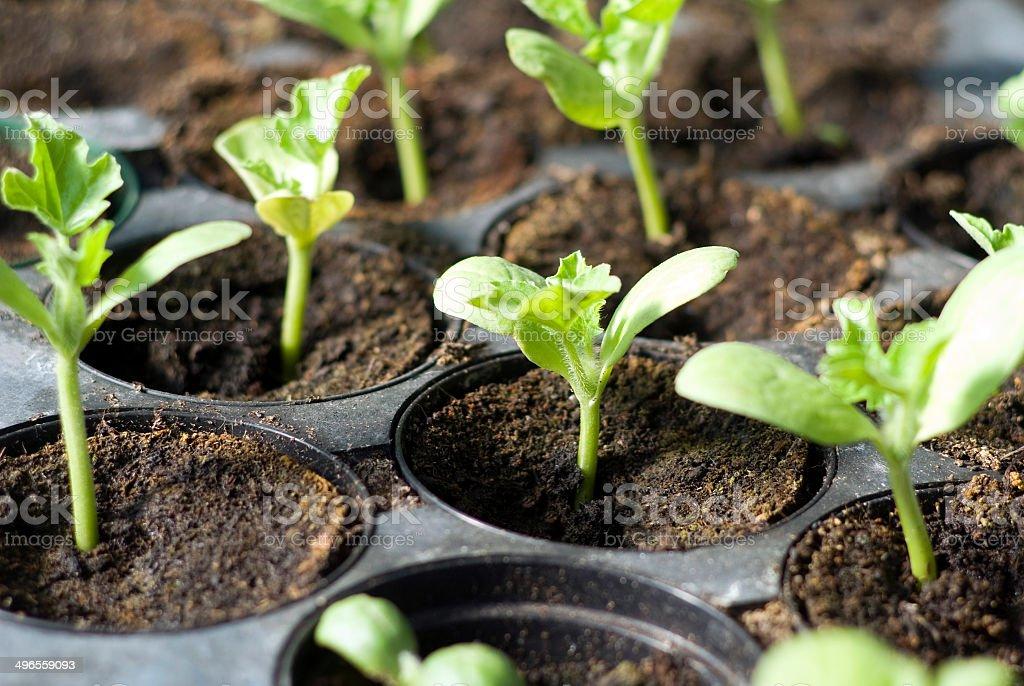 Organic vegetable seedlings stock photo