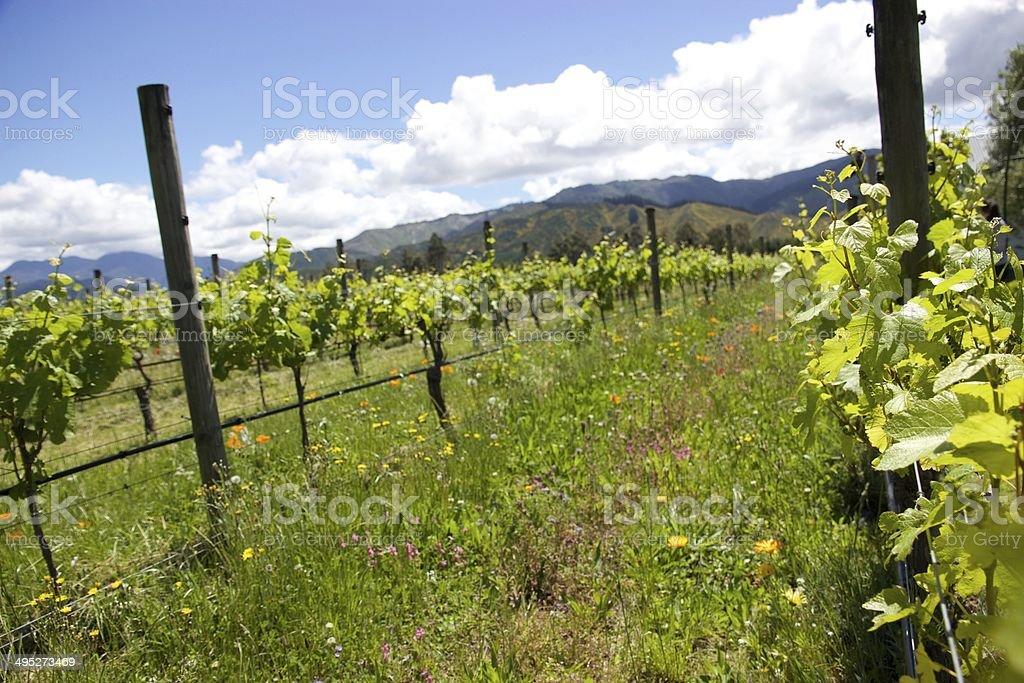 Organic vineyard in Marlborough, New Zealand stock photo