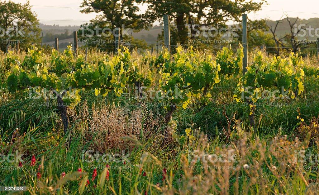 Organic vineyard in Tuscany, Italy stock photo