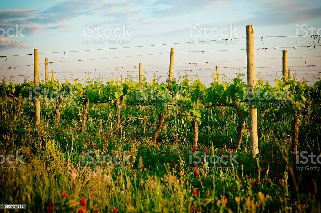 Organic vineyard in Tuscany, Italy, toned stock photo