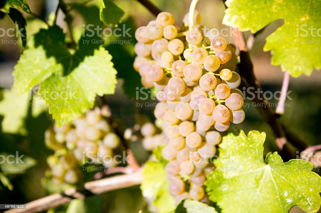 Organic Viognier Grape stock photo