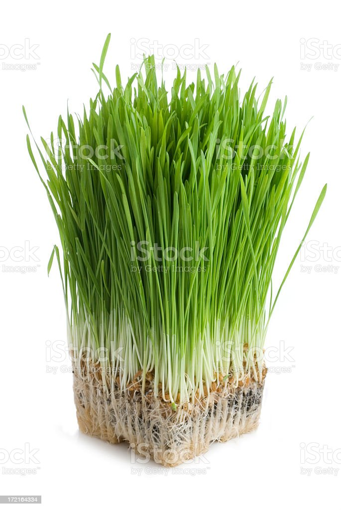 Organic wheat grass stock photo