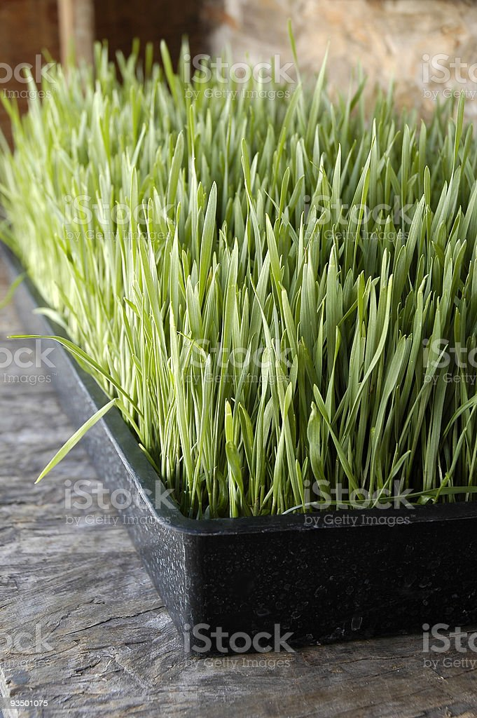 Organic Wheatgrass or Wheat Sprout royalty-free stock photo