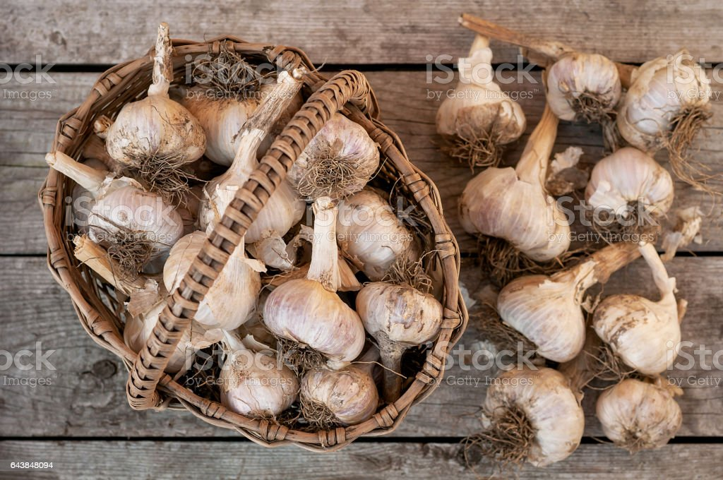 Organic white garlic bulbs from the recent harvest in the basket. stock photo