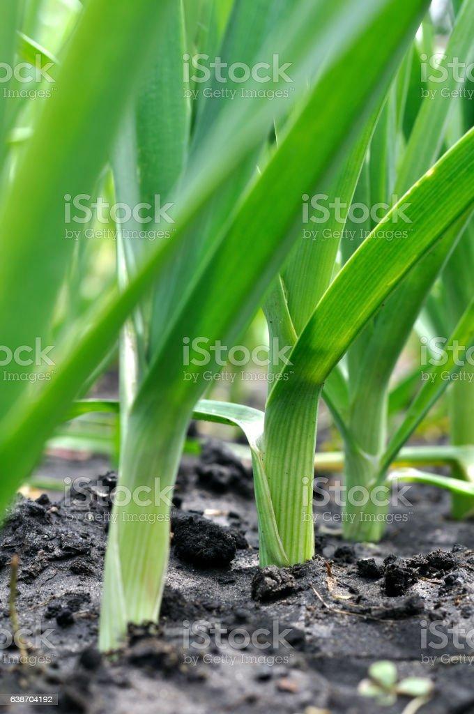 organically cultivated leek plantation stock photo