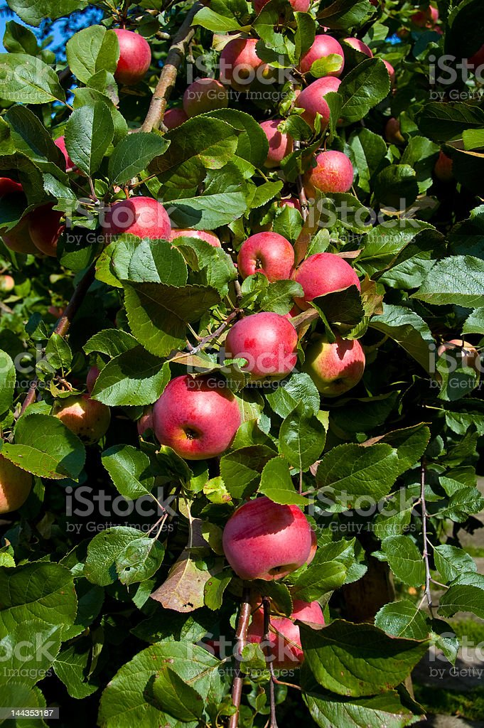 Organically grown apples 8068 royalty-free stock photo