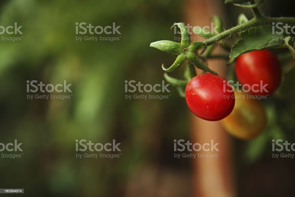 Organically Grown Cherry Tomatoes in Kitchen Garden stock photo