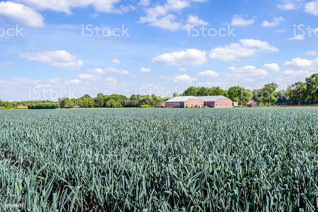 Organically grown leek plants in a large field stock photo