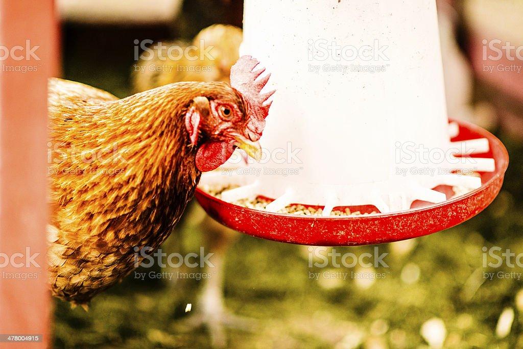 Organically Raised Free Range Chicken Eating Organic Feed royalty-free stock photo