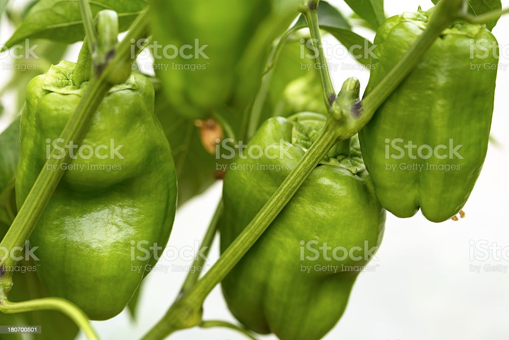 Organicaly Grown Green Peppers Slovenia stock photo