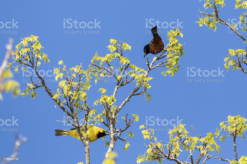 Orhcard Orioles royalty-free stock photo