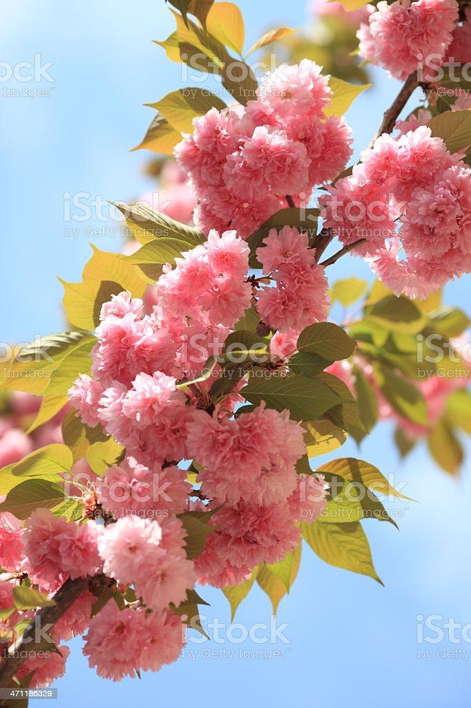 Oriental Cherry Tree blossom in Rome, Italy royalty-free stock photo