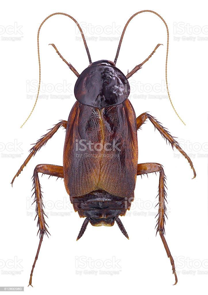 Oriental Cockroach (Blatta orientalis) stock photo