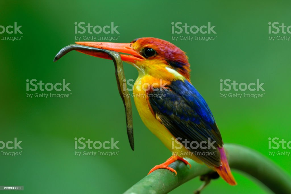 Oriental Dwarf or Black-Backed Kingfisher stock photo