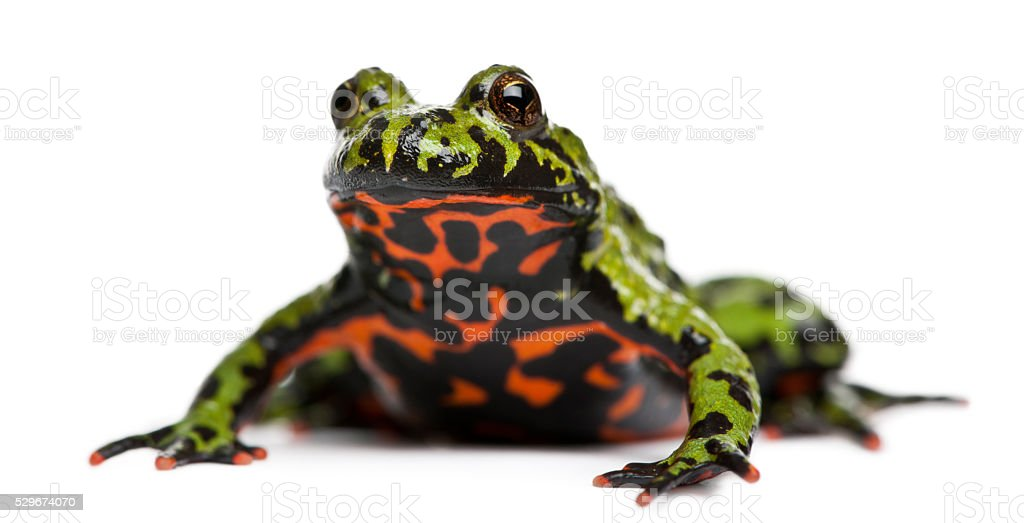 Oriental Fire-bellied Toad, Bombina orientalis, in front of white background stock photo