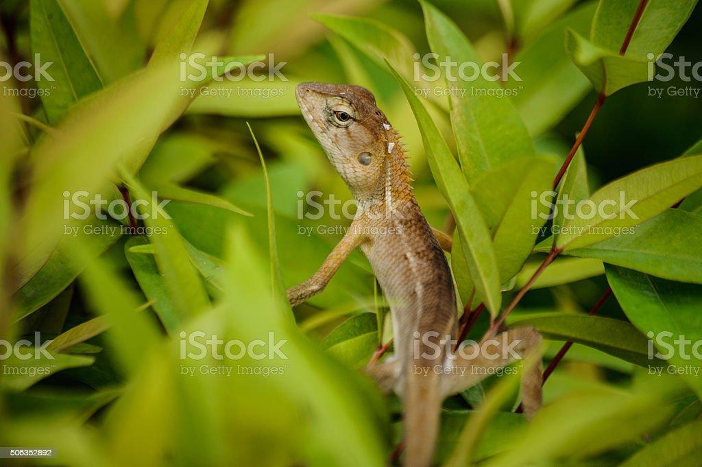 Oriental garden lizard in Thailand stock photo