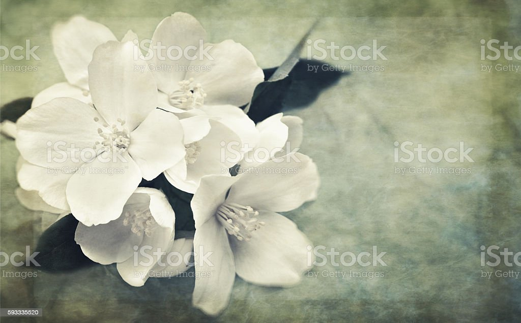 Oriental grungy backgrounds with jasmine flowers and vintage pap stock photo
