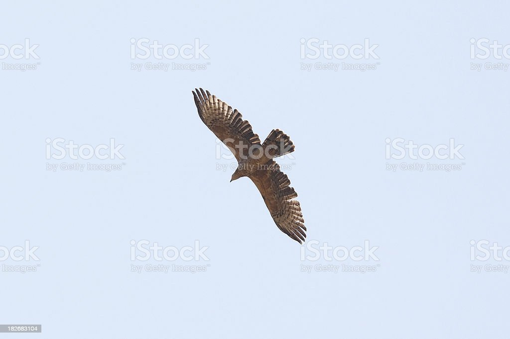 Oriental Honey-buzzard (Pernis ptilorhyncus) on blue sky stock photo