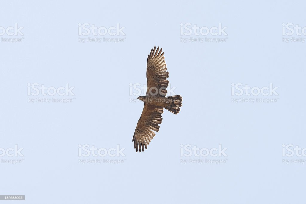 Oriental Honey-buzzard (Pernis ptilorhyncus) stock photo