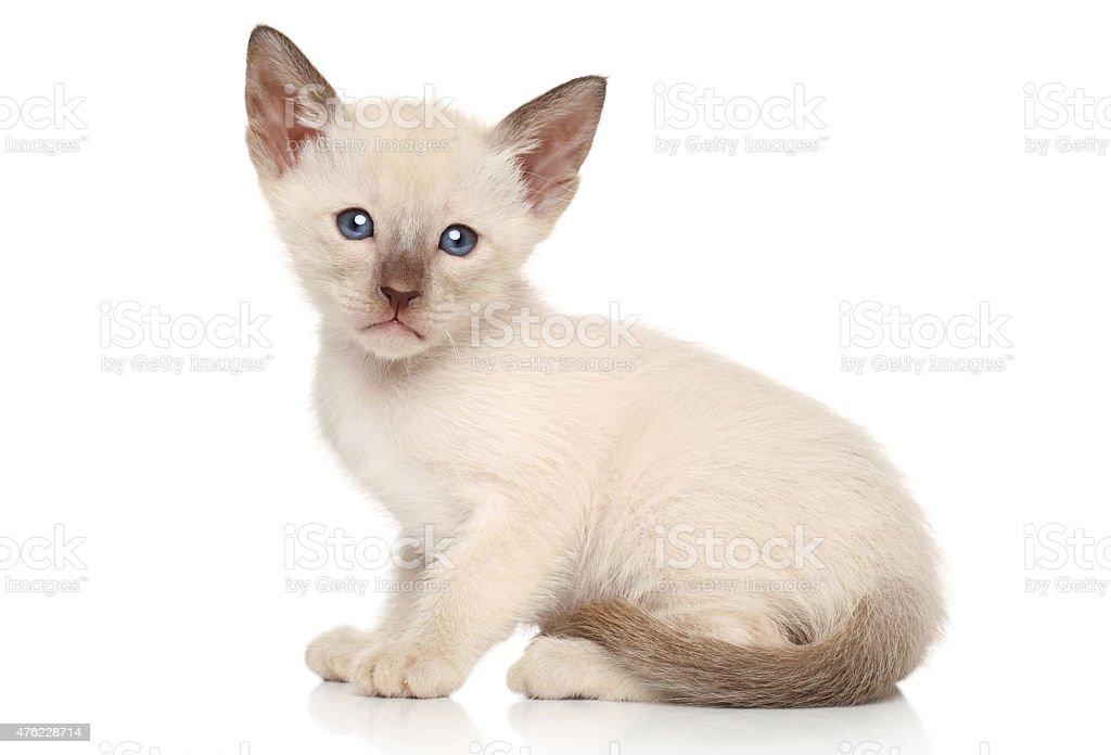Oriental kitten on white background stock photo