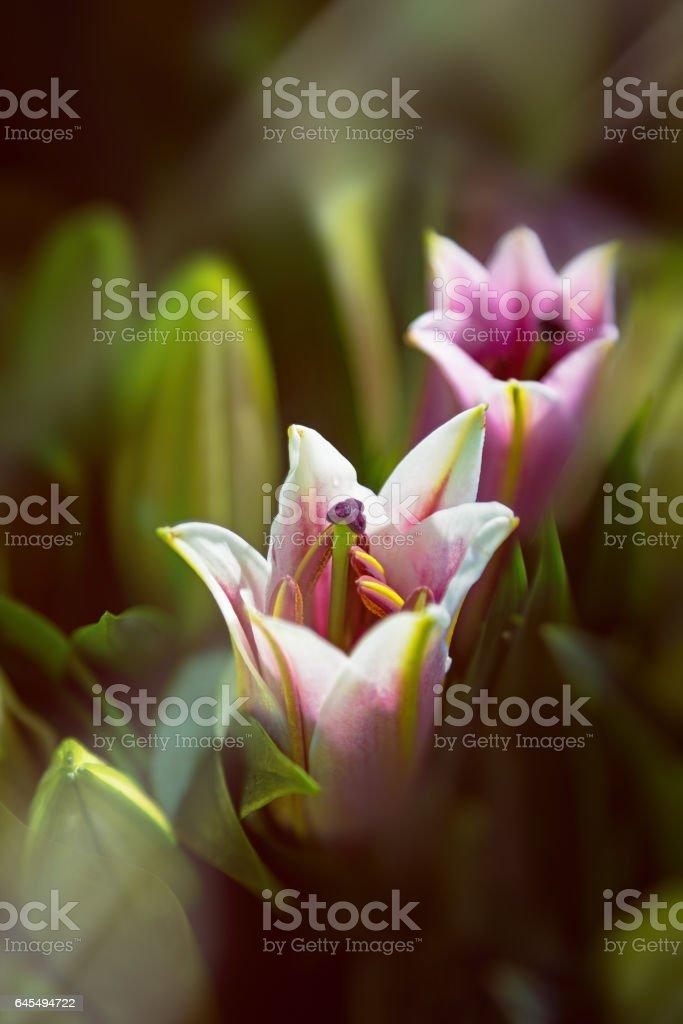 Oriental lilies in sunlight stock photo