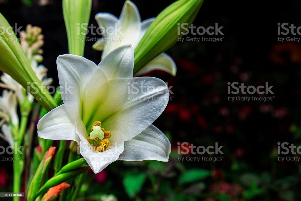 oriental Lily stock photo