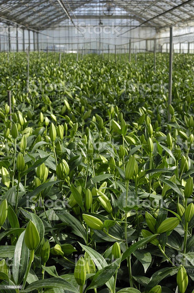 Oriental Lily Plants Growing in Greenhouse stock photo