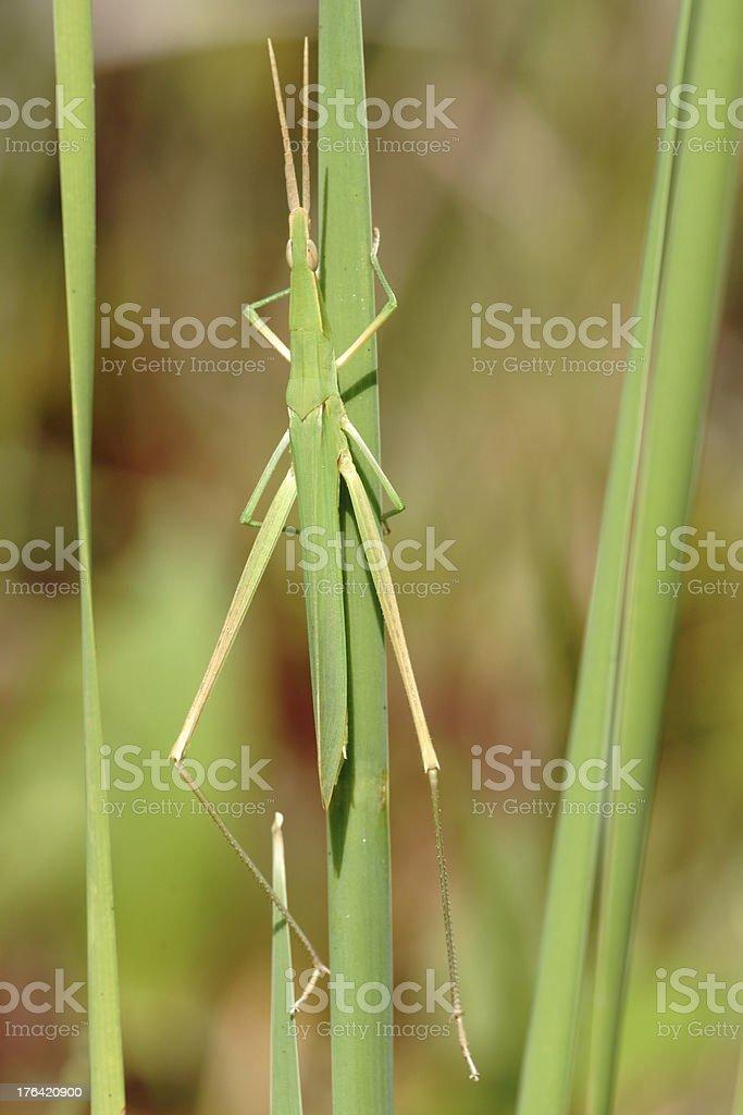 Oriental longheaded locust royalty-free stock photo