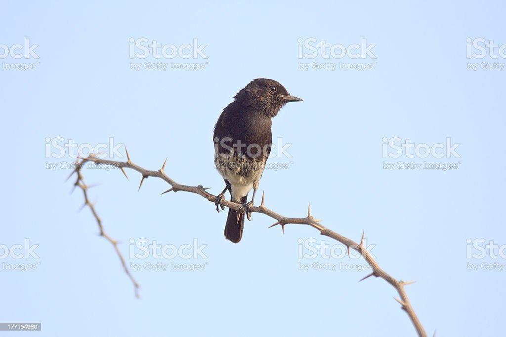 Oriental Magpie-Robin royalty-free stock photo