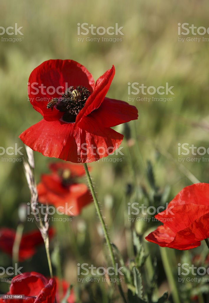Oriental Poppies and Bee royalty-free stock photo