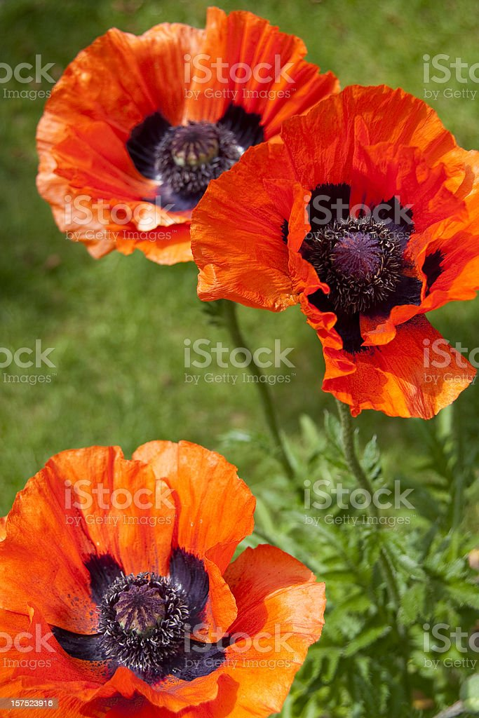 Oriental Poppies stock photo