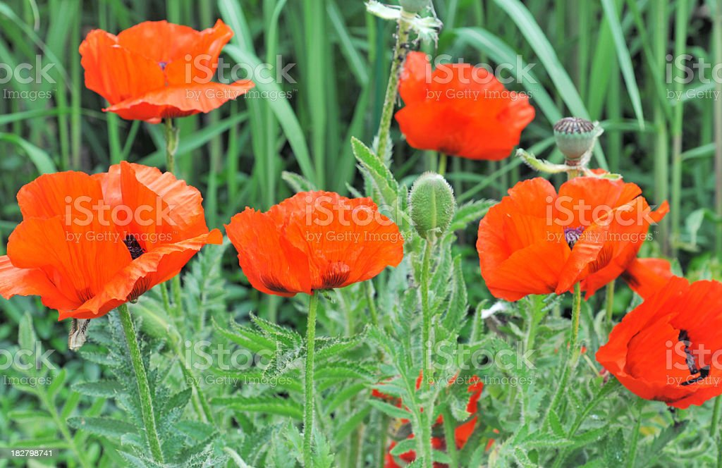 Oriental poppies royalty-free stock photo