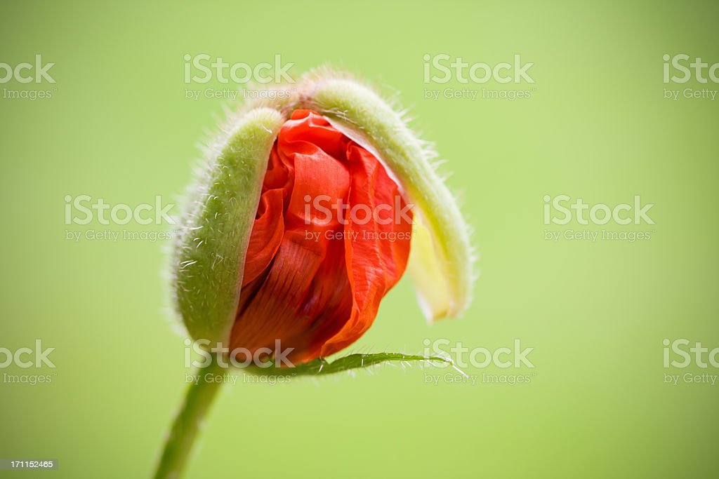 Oriental Poppy About to Blossom stock photo
