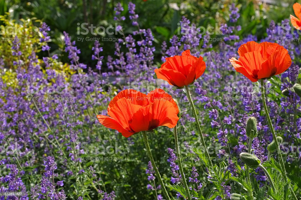 oriental poppy and catmint stock photo