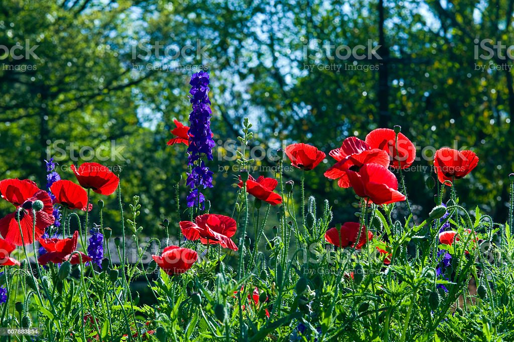 Oriental poppy and doubtful knight's spur stock photo