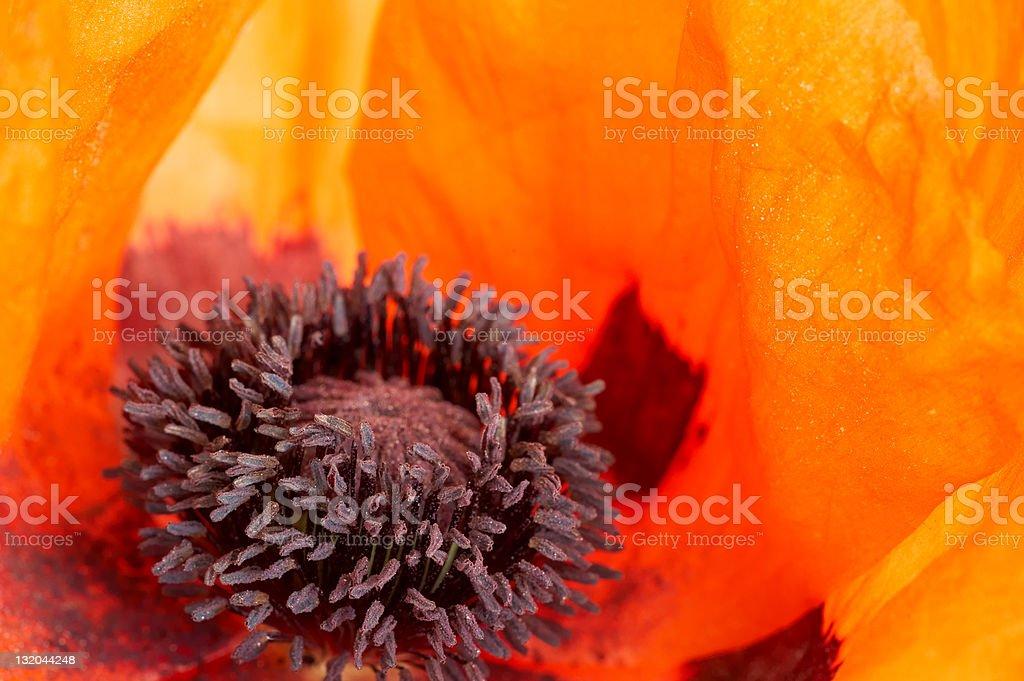 Oriental poppy close in royalty-free stock photo