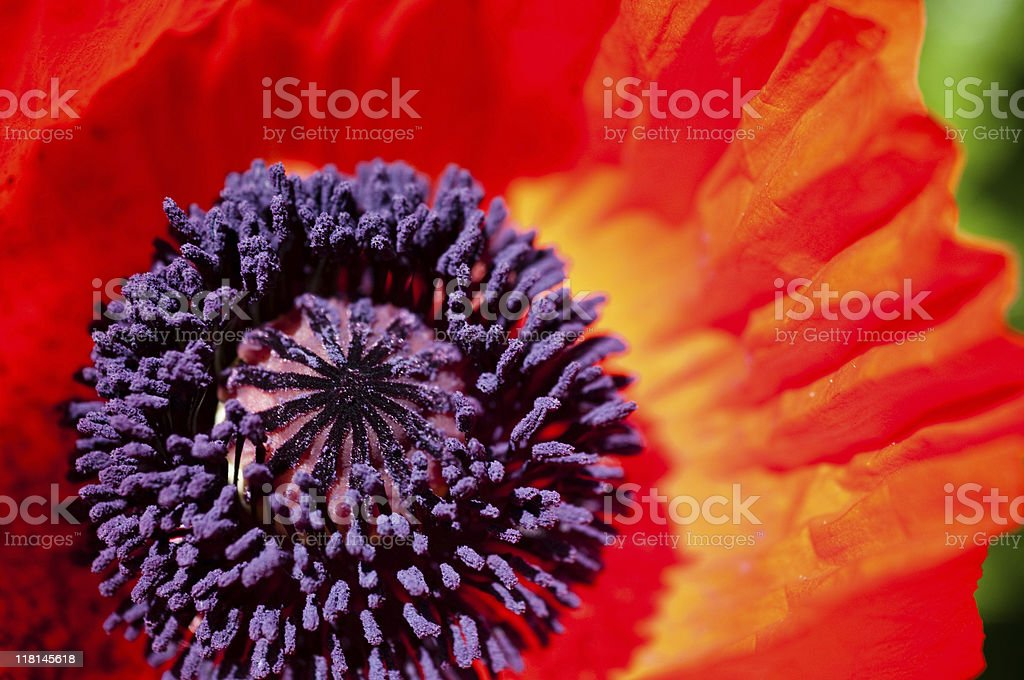 Oriental Poppy Detail royalty-free stock photo