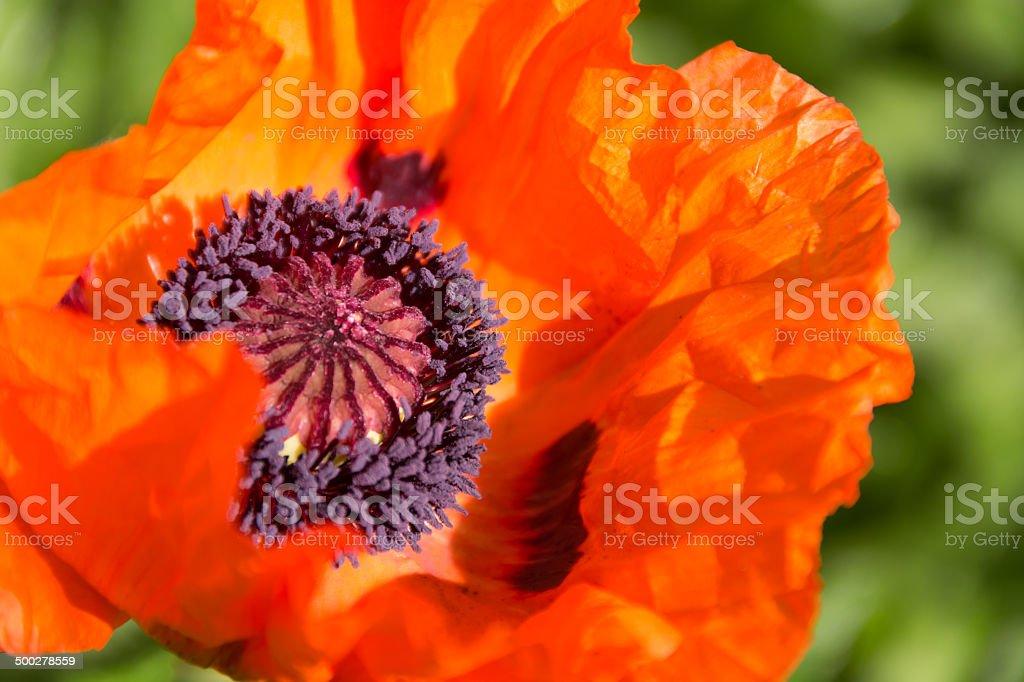 Oriental poppy in bright sunlight. stock photo