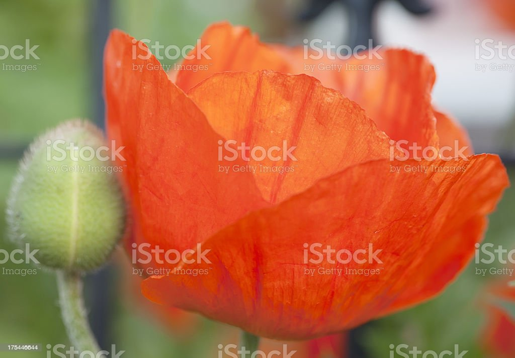 Oriental Poppy in Formal Garden (Papaver orientale) royalty-free stock photo