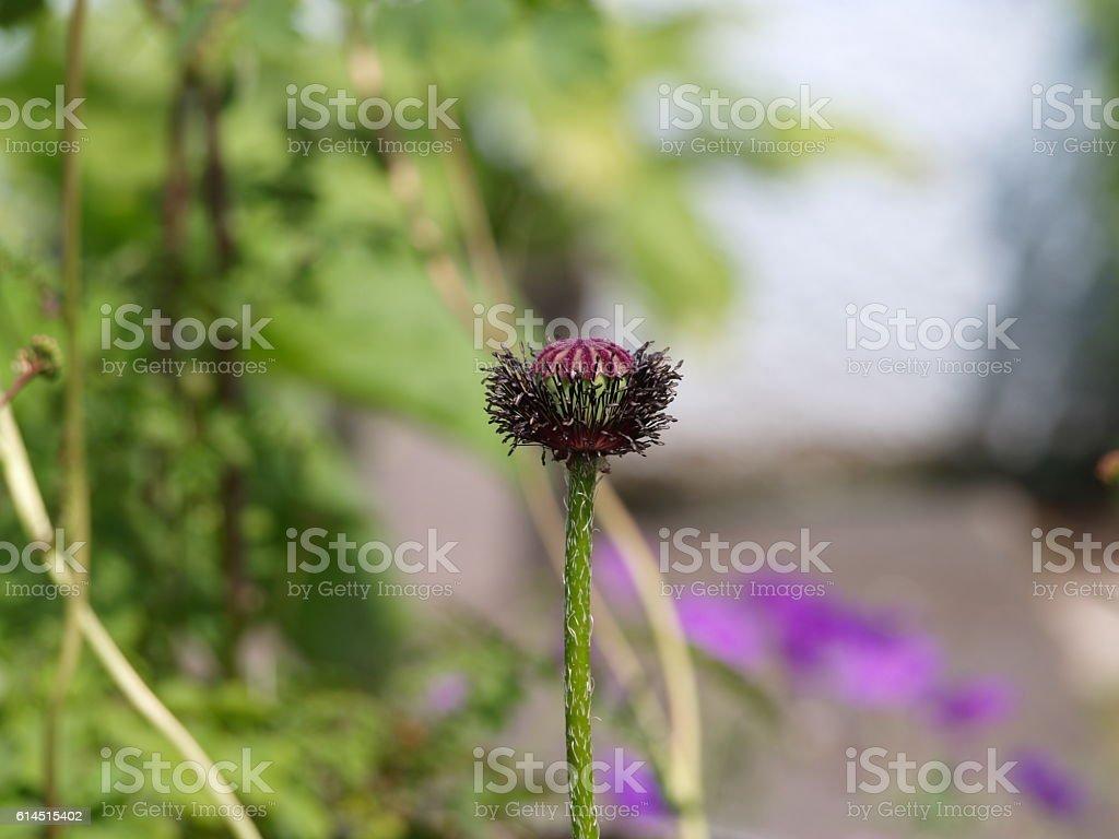 Oriental poppy, new seed head stock photo