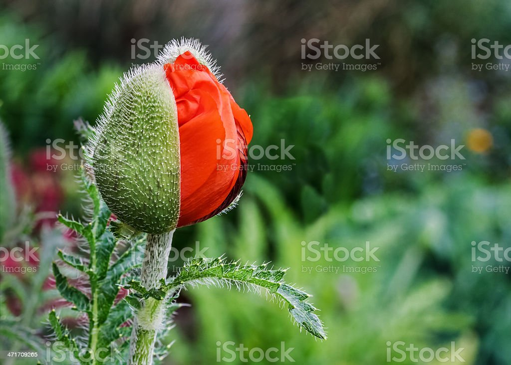 Oriental Poppy Opens royalty-free stock photo