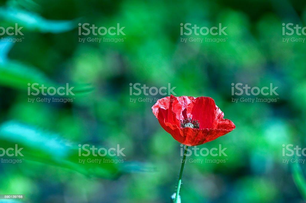 Oriental poppy or Papaver orientale stock photo