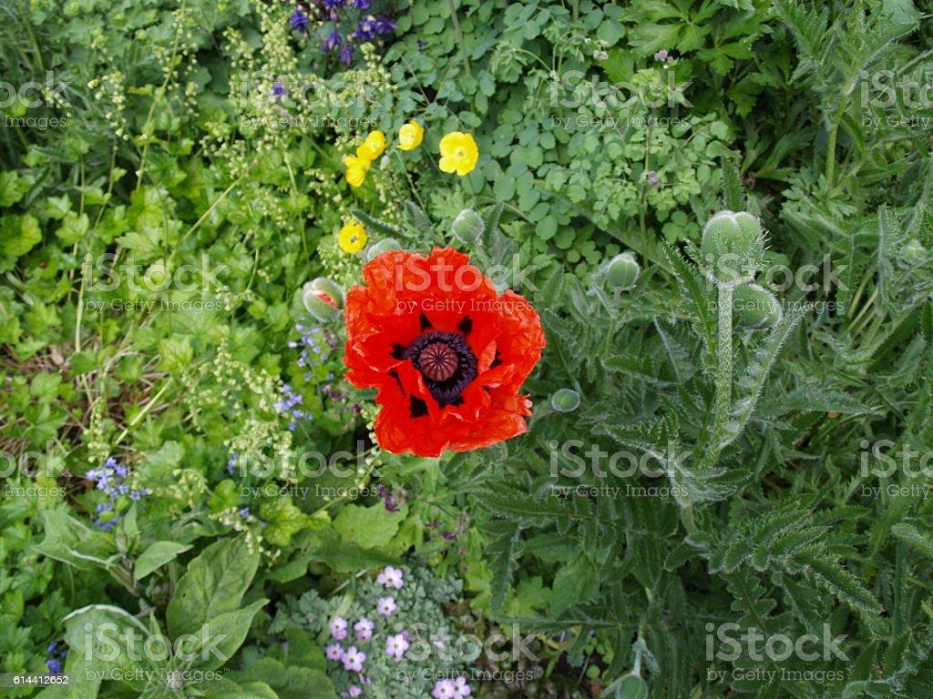 Oriental poppy, papaver orientalis from above stock photo