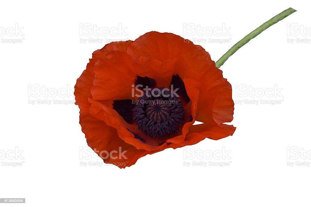 Oriental poppy, papaver orientalis, on stem: isolated stock photo
