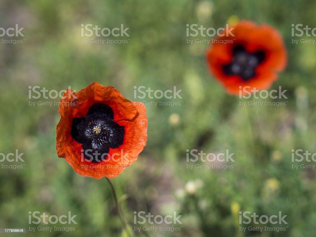 Oriental poppy. royalty-free stock photo
